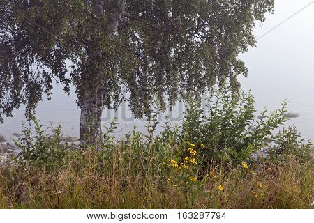 Birch and plants by the sea. Early morning mist in the background. Bushes and flowers.