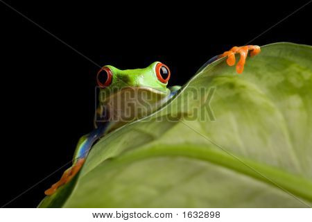Frog On A Leaf Isolated Black