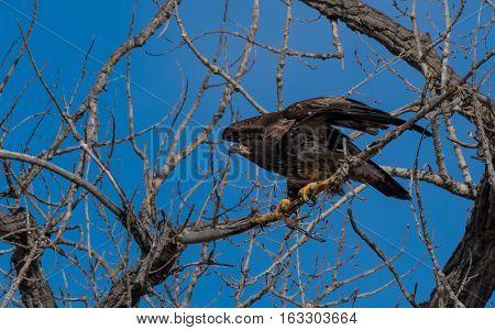 Juvenile Bald Eagle Ready for Takeoff in Colorado