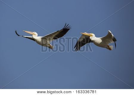 A pair of pelicans flying in the sky