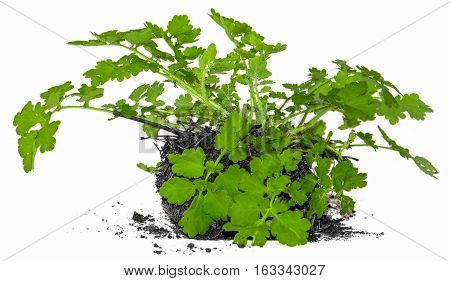 Young Bush Celandine, With A Piece Of Land
