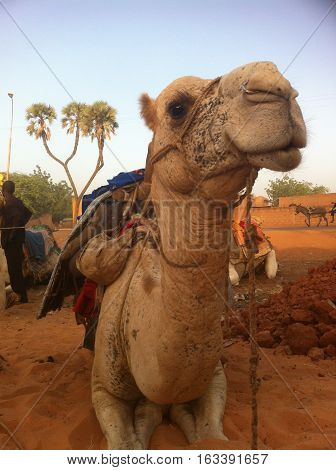 Camel in the desert in Niamey, Niger.