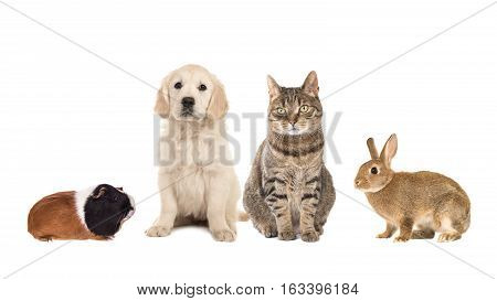Group of four common pets guinea pig rabbit tabby cat golden retriever puppy isolated on a white background