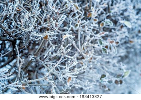 Close-up of hoar frost on linden tree branches. Branch of a tree in hoarfrost because of unexpected early frost