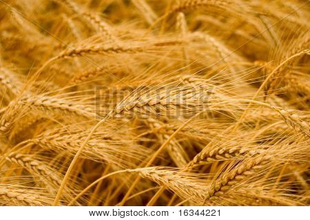 Ripe yellow wheat with stalks by grains