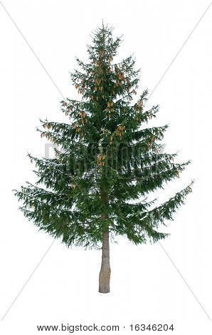 green fir isolated on white