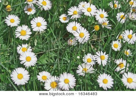 marguerite in spring field closeup