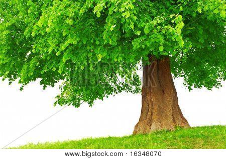 großer Grüner Baum hautnah