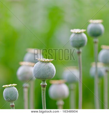 green poppy field close up