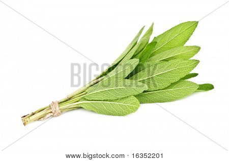twig of salvia isolated on white