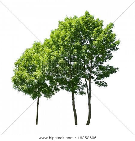 three green tree isolated on white