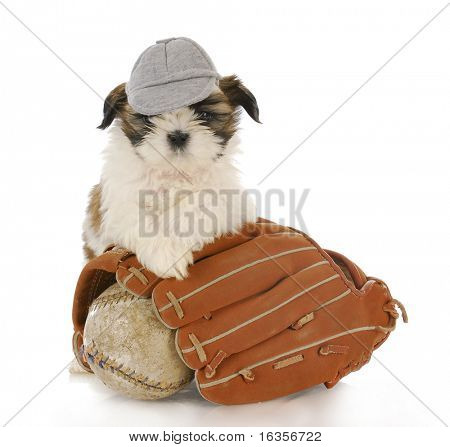 shih tzu puppy with baseball glove and ball with reflection on white background