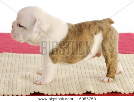 english bulldog puppy standing - four weeks old