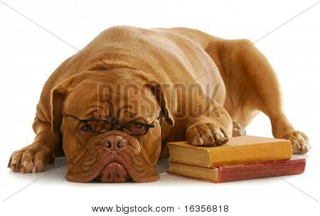 dog obedience school - dogue de bordeaux wearing glasses with paw up on stack of books on white background