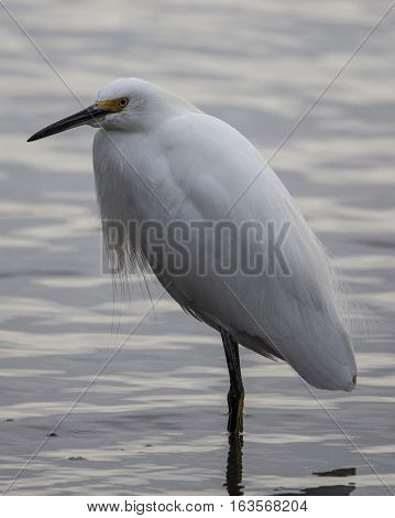 Young white egret standing in lake water