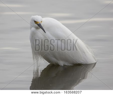 Young snowy egret standing in lake water