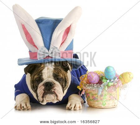 easter dog - english bulldog dressed up for easter on white background