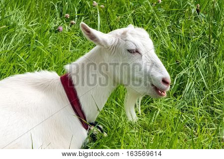 White goat of green grass. Rural pet grazing in a meadow. Farm ranch for breeding goats.