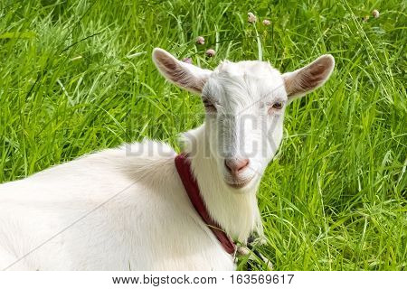 White goat on a background of green grass. Rural pet grazing in a meadow. Farm ranch for breeding goats.