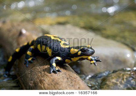 Salamandra amarilla
