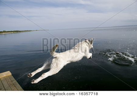 Labrador retriever jumping into water