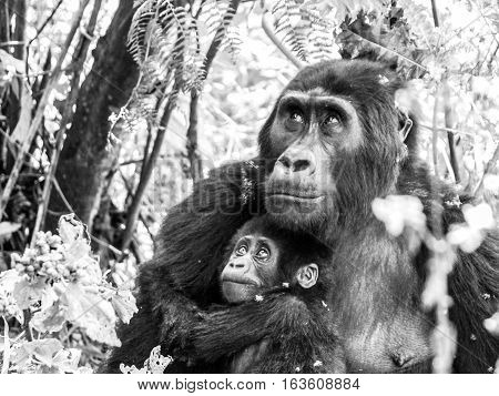 Mountain gorilla family - young baby with sad eyes protected by its mother in the forest, Uganda, Africa. Black and white image.