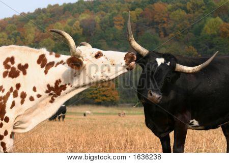 Amor de vaca