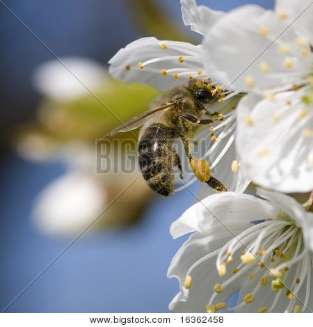 Apple tree flower and bee
