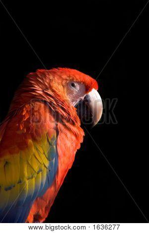 Animal Macaw