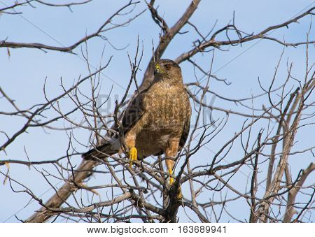 Cooper's Hawk Scouting before the Sun Sets