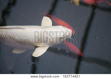 Big White Koi Fish In Black Pond