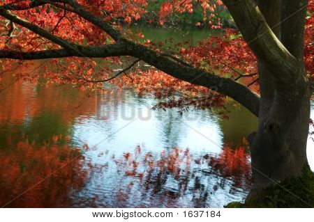 Japanese Maple By The Pond