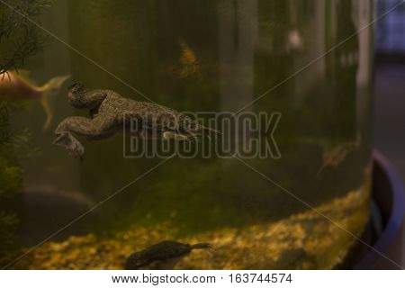 African clawed frog (Xenopus laevis) swimming in a tank