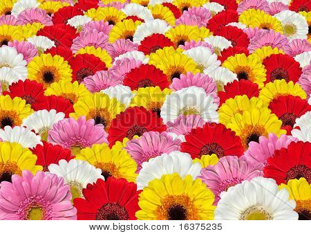 Lots Of Colorful Gerbera Flowers Background