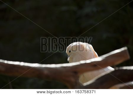 Profile of salmon-crested cockatoo on a bare branch