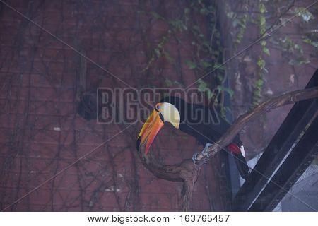 Close up of a toco toucan (Ramphastos toco)