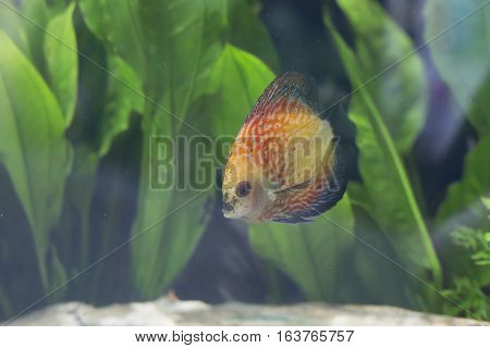 Close up of an orange discus fish (Symphysodon discus)