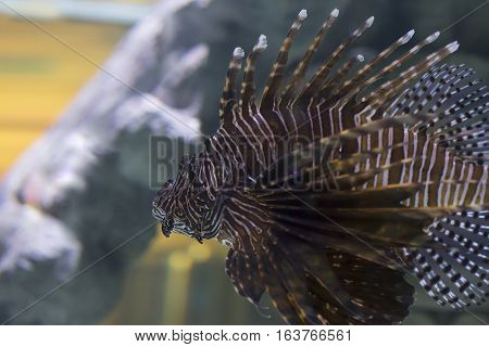 Extreme close up of a lionfish swimming
