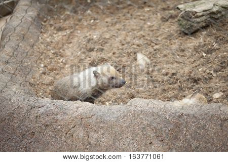 Close up of a bush dog (Speothos venaticus) in a fence