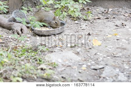 An Eastern gray squirrel stealing pet food