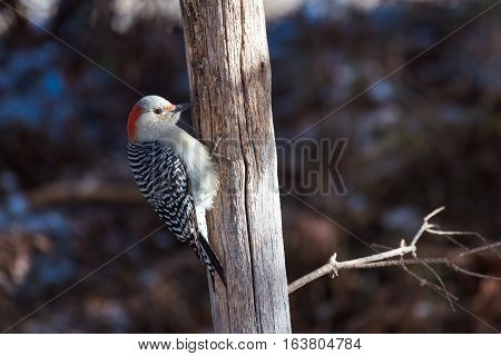 Female red bellied woodpecker pecking on a wooden fence post
