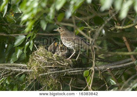 Eine Singdrossel Mutter füttern ihre hungrigen Küken im nest
