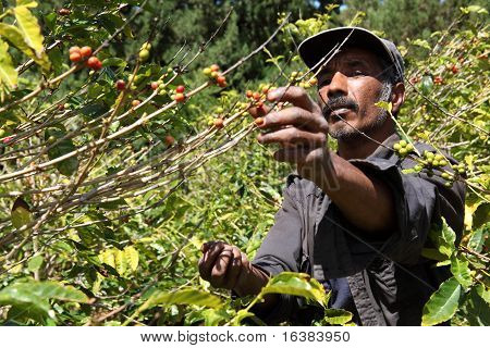 Coffee farmer picking ripe beans