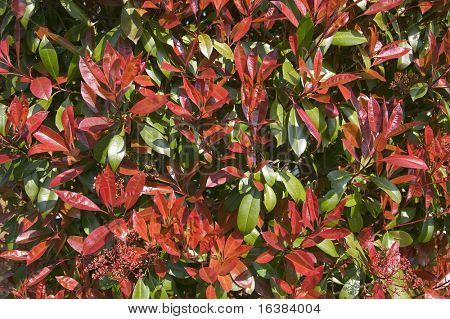 Leaves from a Photinia (Red Robin) bush, suitable for backgrounds