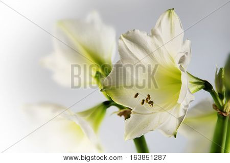 White amaryllis flower (Hippeastrum) romantic close up shot of the bloom and stamens blurred background with copy space beautiful holiday greeting card selective focus narrow depth of field