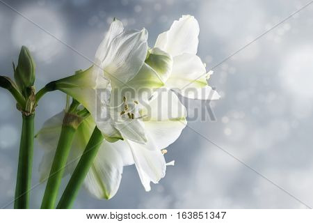 White amaryllis flowers (Hippeastrum) against a snowy winter backgroun beautiful floral greeting card with copy space selected focus narrow depth of field