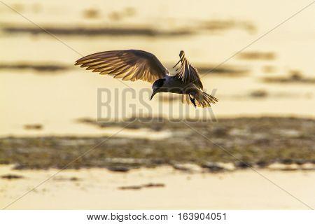 Whiskered tern in Arugam bay lagoon, Sri Lanka ; specie Chlidonias hybrida family of Laridae