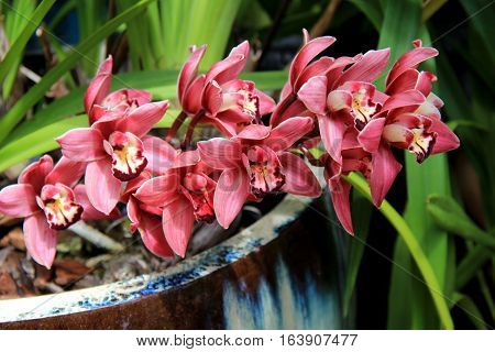 Gorgeous image of bright and colorful exotic orchids spilling out over sides of clay pot