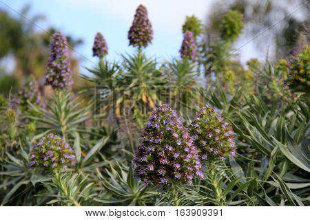 Pretty image of bright purple flowering shrubs