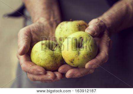 Detail of wrinkled woman's hands holding bunch of organic Golden Delicious apples. Selective focus